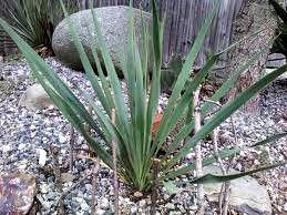 Veľká Yucca - Obrázok č. 2