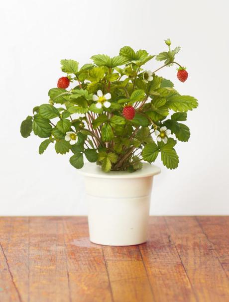 Lesné jahody - priesady - Obrázok č. 1