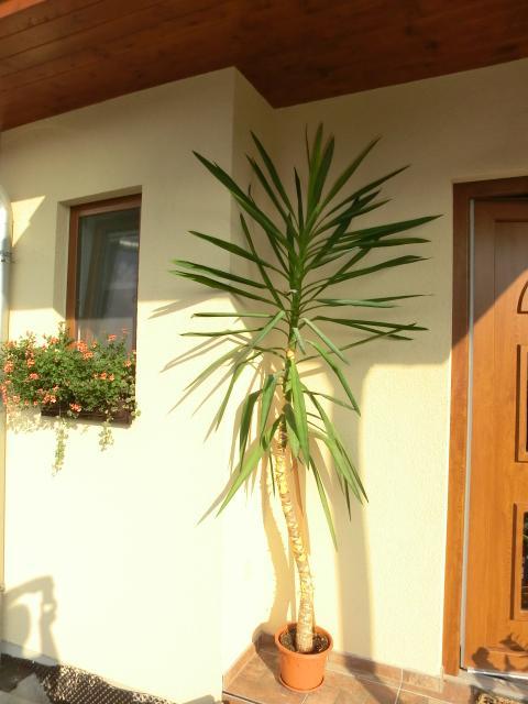 U nás doma - Nevíte prosím někdo co je to za palmu a zda ji mohu uříznout, zda znovu obrazí ? Předem děkuji.