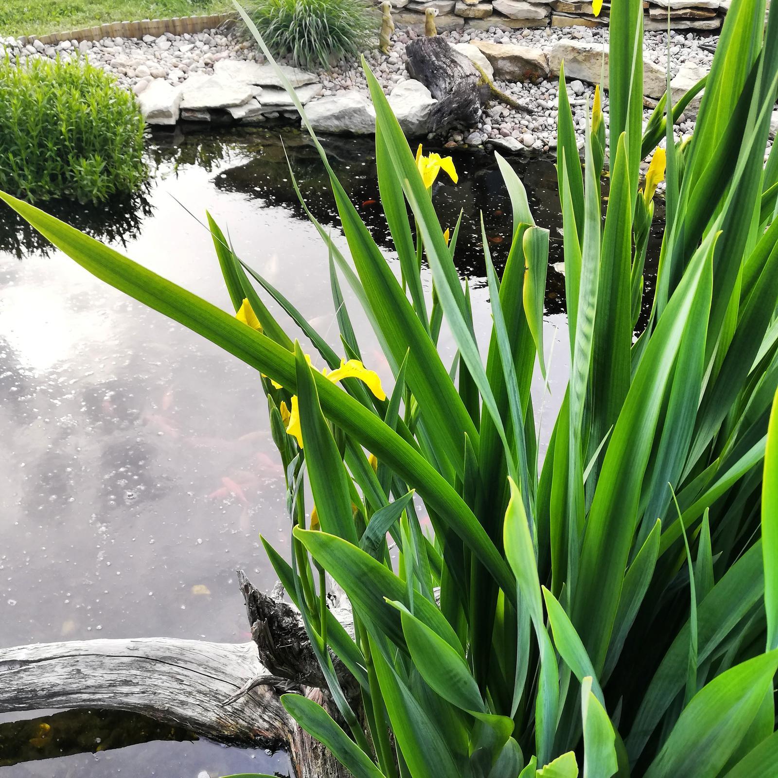 Začátek dalšího roku ..... :-) - vodní kosatec