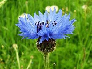 Miluju modrou... ale kytku asi zruším... mým snem jsou svíčky... i když kytička z chrp... hm, asi bych si dala říct