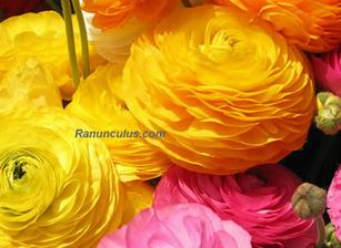 ranunculus...ale bude v bielom:-)