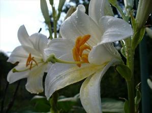 Biele lalie na svadobné stoly...krásne kvety,zbožnujem ich aj s ružami