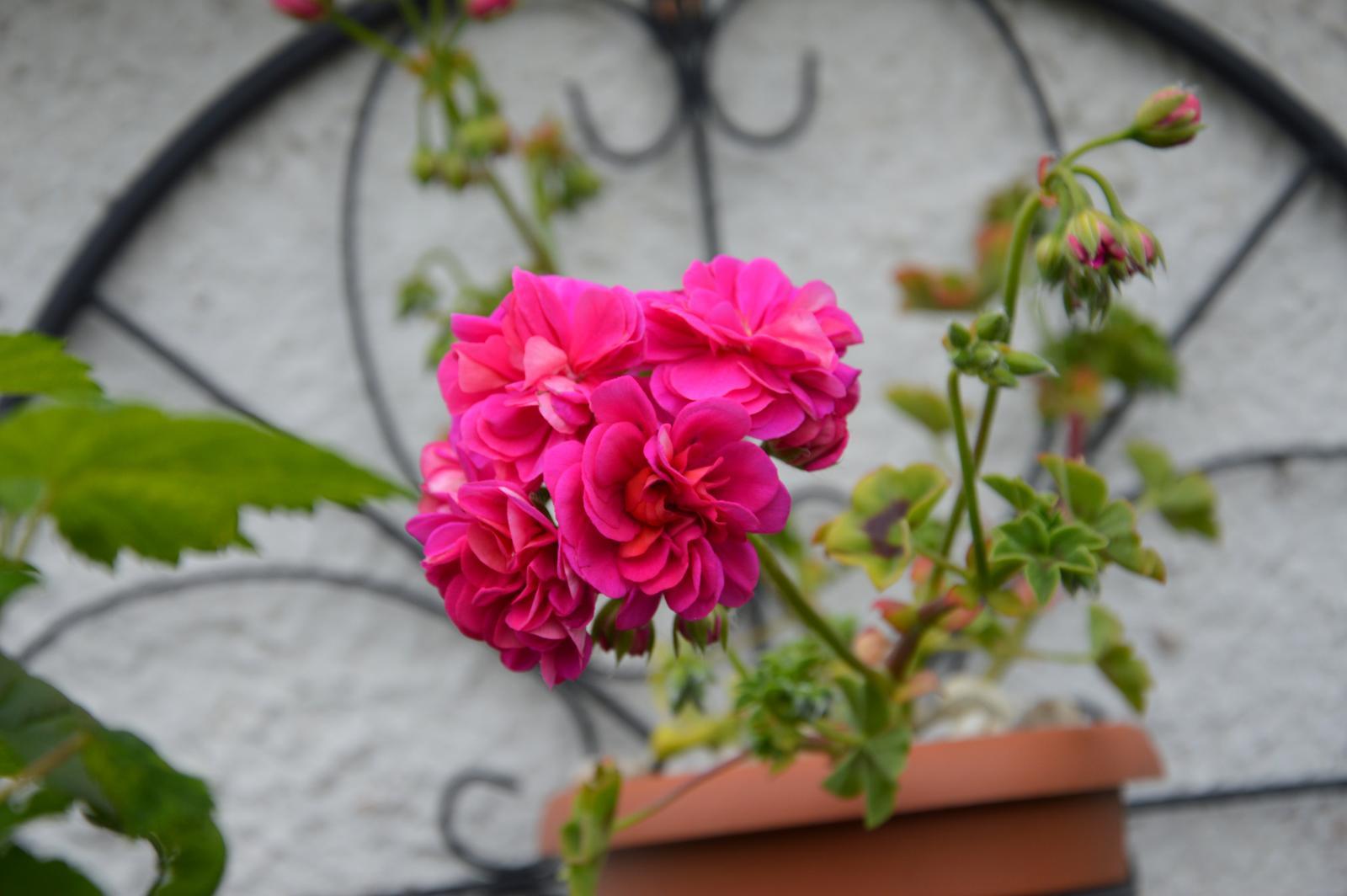 Niečo zo záhradky :-) - Obrázok č. 17