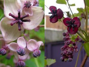 Akébie květ.   Elegantní rostlinka a k tomu ještě voňavá. Kvete březen- duben.