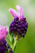 Lavender (Lavandula Stoechas) 'Liberty'