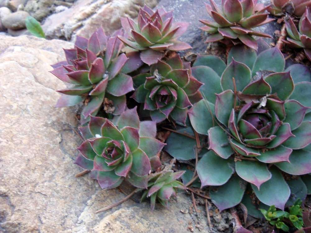 skalné ruže - Obrázok č. 1