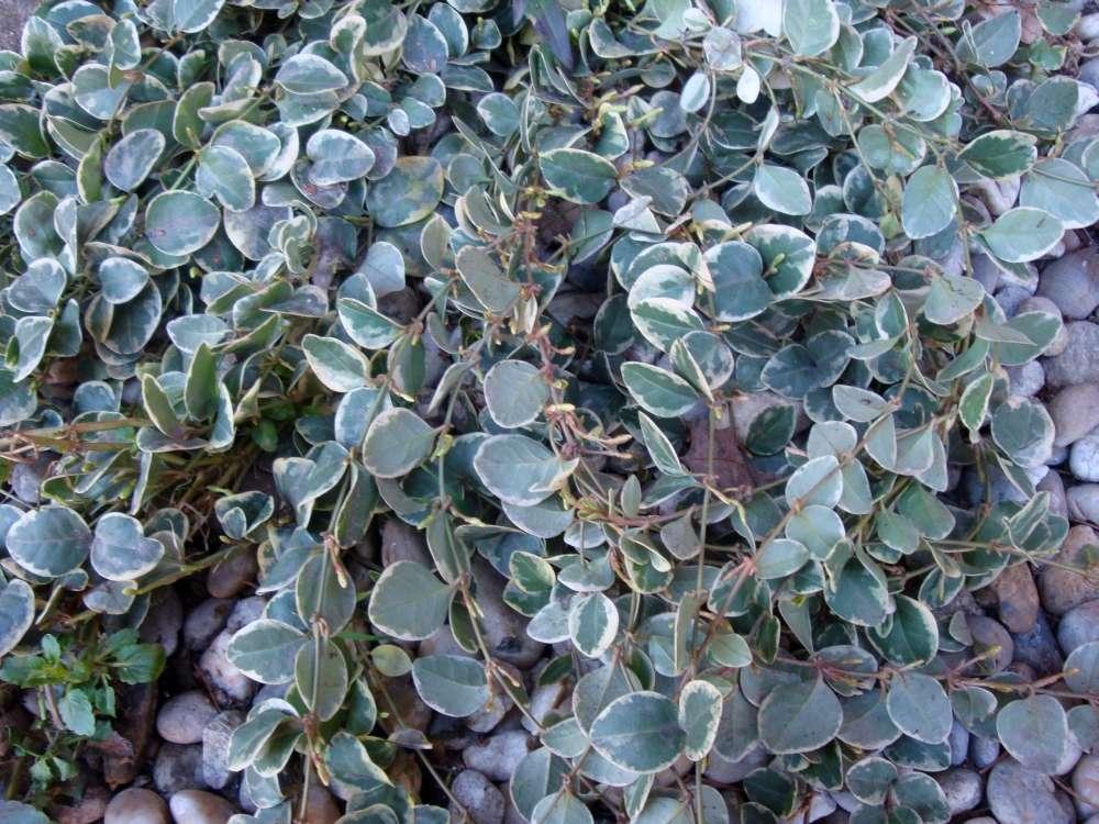 zeleno-biely zimozel - Obrázok č. 1