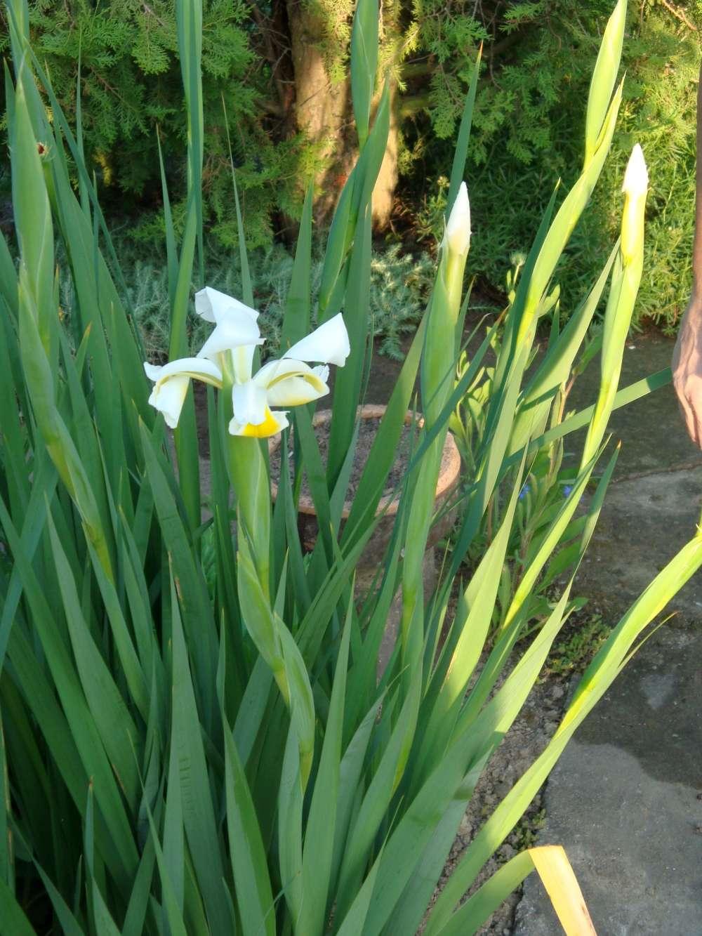 biely iris - Obrázok č. 3