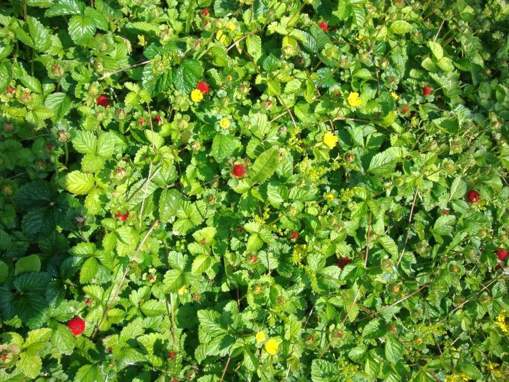 okrasné jahody-duchesnia indica - Obrázok č. 2