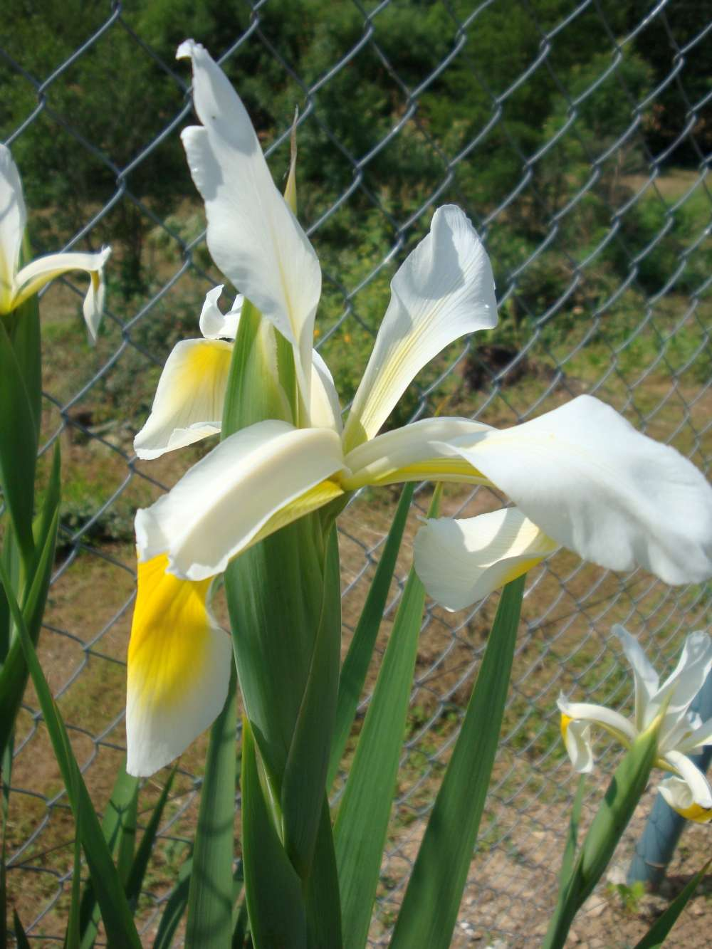 biely iris - Obrázok č. 1