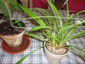 izbová tráva- zelenec,