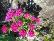 klinček čínsky semienka aj rastliny,
