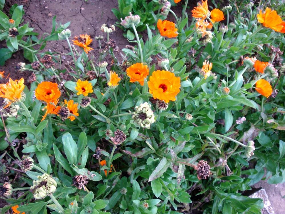 nechtík žltý aj oranžový-semienka - Obrázok č. 1