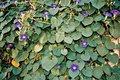 povojník modrofialový- semienka,