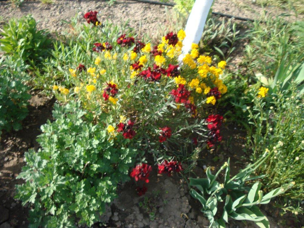cheriant voňavý-semienka - Obrázok č. 1