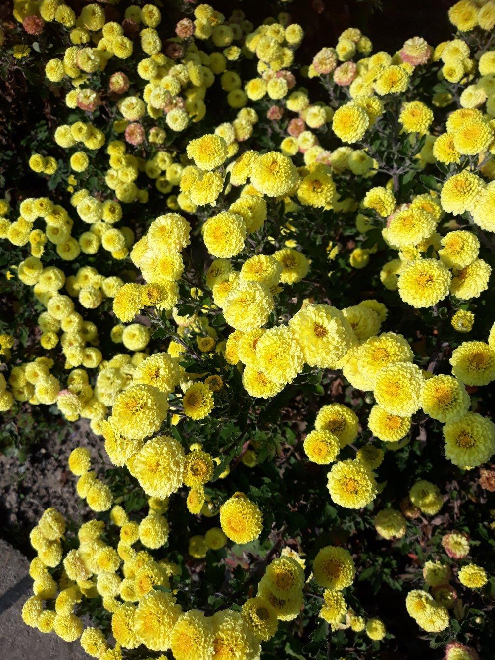 chryzantémy  vysoké plnokvete - Obrázok č. 1