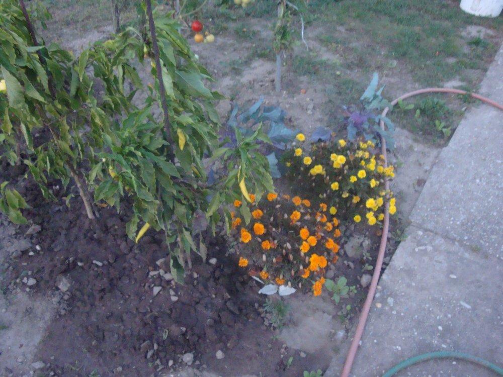 aksamietnice nízke - semienka - Obrázok č. 1