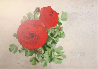 zohnala som ich v takejto nadhernej cervenej farbe. Ranunculus alebo iskernik.