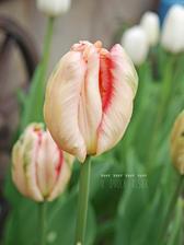 tejto odrode tulipanu som strasne rada... velmi jemnucke farby...
