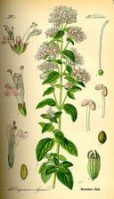 oregáno! jedna z prvních rostlin, která zřejmě miluje moji zahradu a péči a krááásně se rozrůstá...ale četla jsem, že to má obvykle ve zvyku, ak se moc nechválím :-D