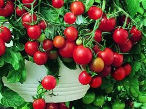 mám 6 sazeniček malých rajčátek...a světe div se, daří se jim :-) příští rok jich chci určitě víc :-)