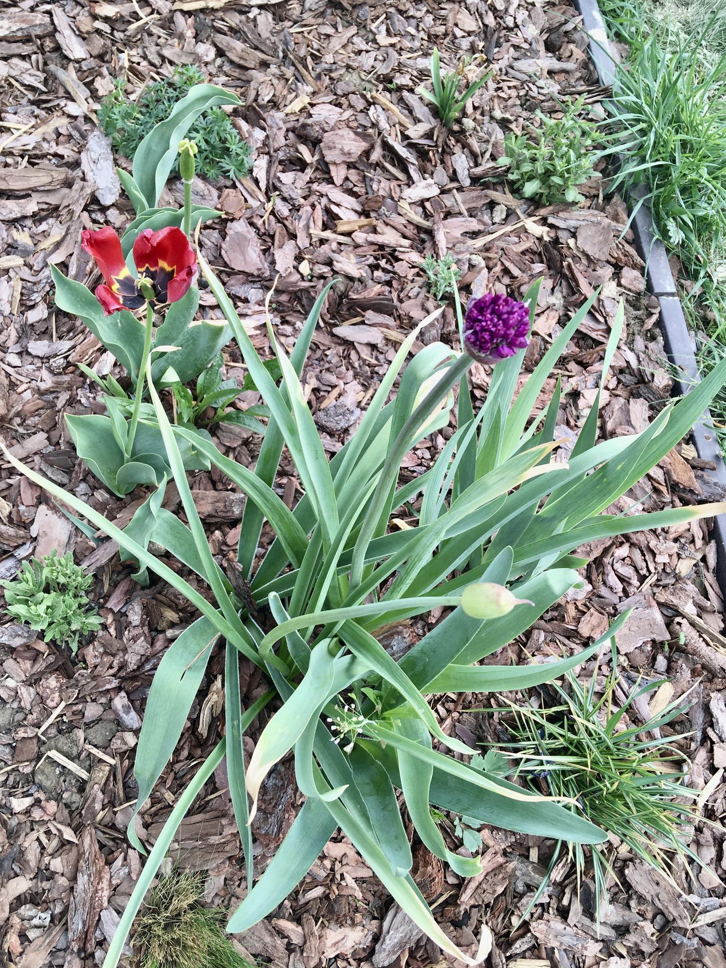 Za plotem - Odkvétající tulipány začínají pomalu střídat okrasné česneky.