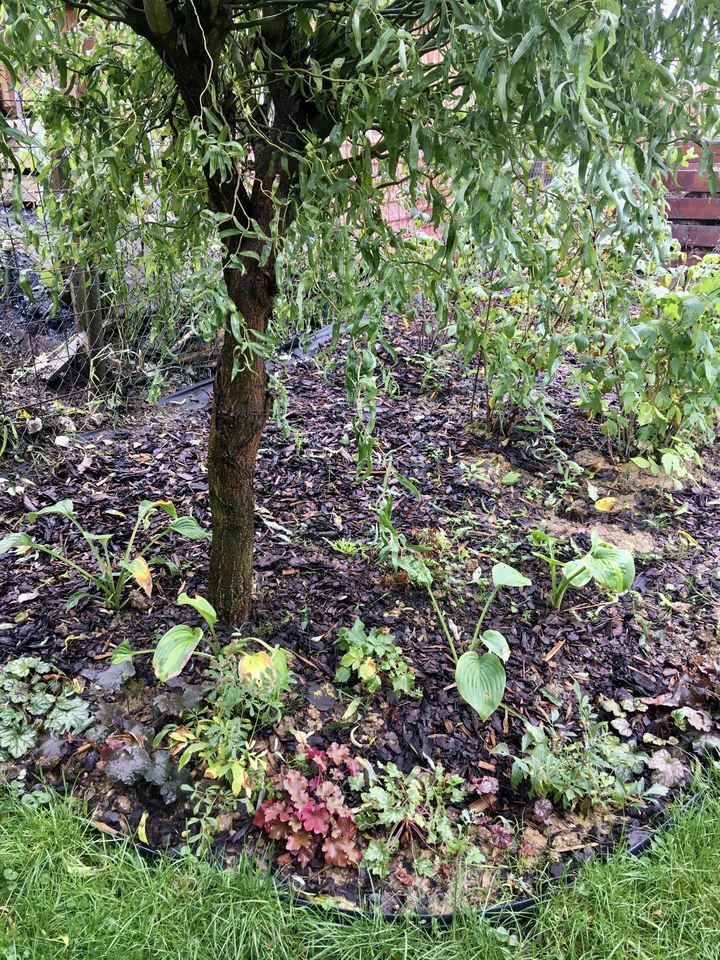 Za plotem - Horní roh zahrady a nově založený záhon pod vrbou - hosty, heuchery, čechravy.