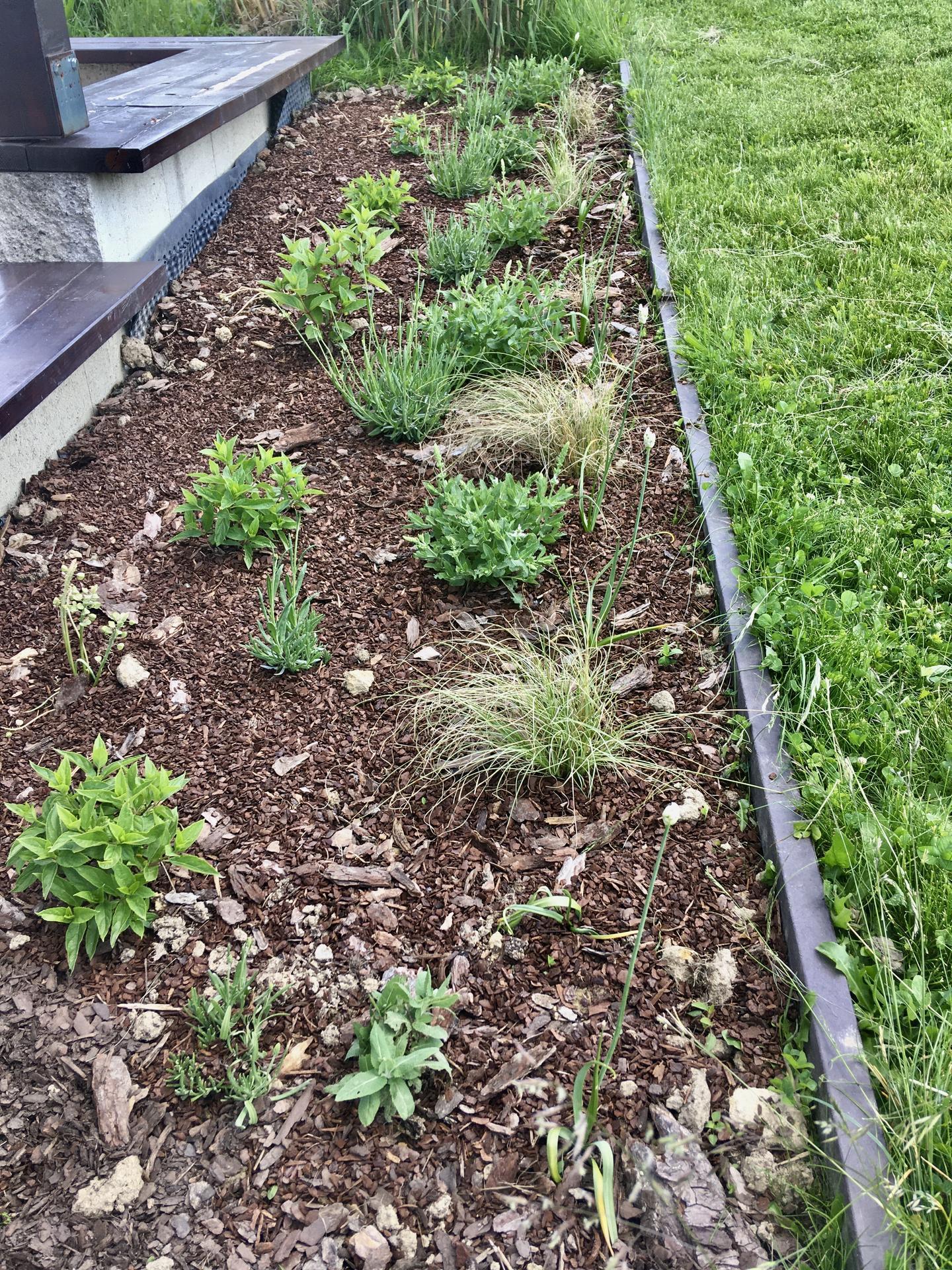 Za plotem - Letos nový záhon před opěrnou zdí terasy - ostřice, hortenzie, šalvěj, levandule a pár okrasných česneků.