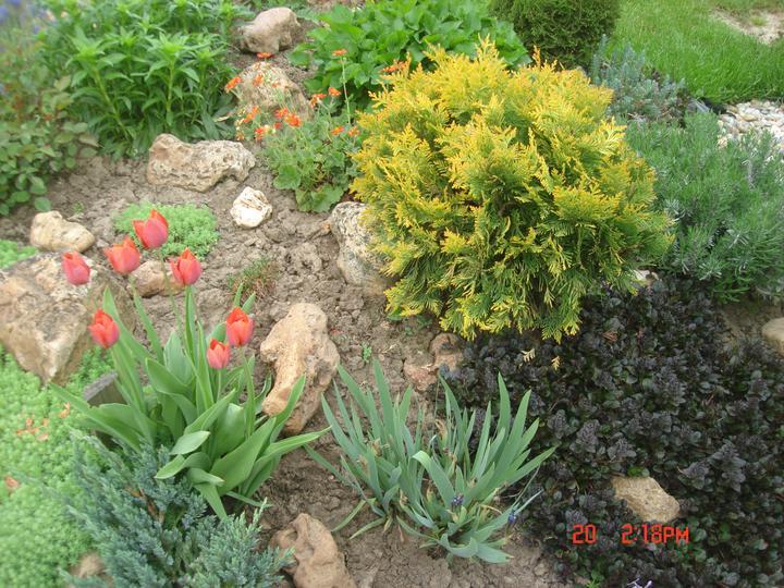 Na dvore a v záhrade - tulipániky kvitnú prvý krát od zasadenia pred 3rokmi, teším sa:))