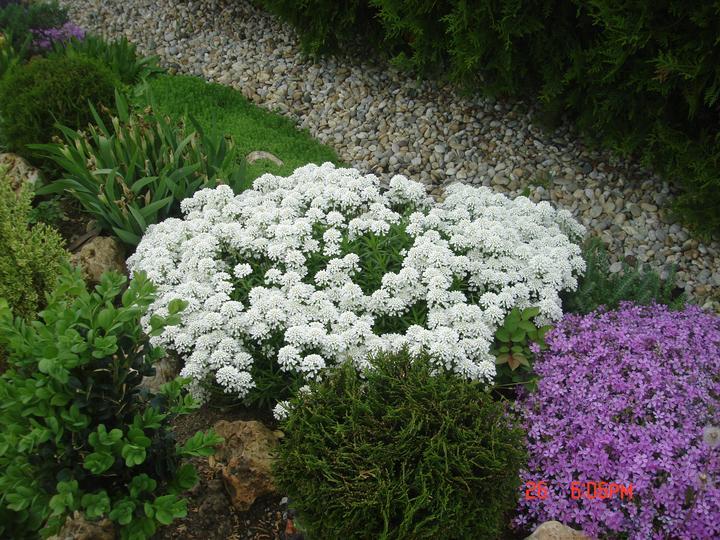Na dvore a v záhrade - tato biela záplava je z jedného koreňa.....