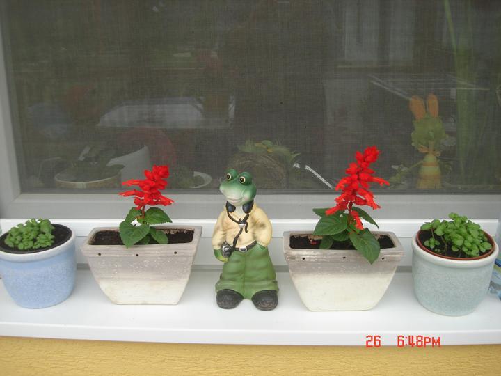 Na dvore a v záhrade - bazalka zo semiačka a šalvie, žabiak darček od syna ..... trošku moderný ale čo už:))