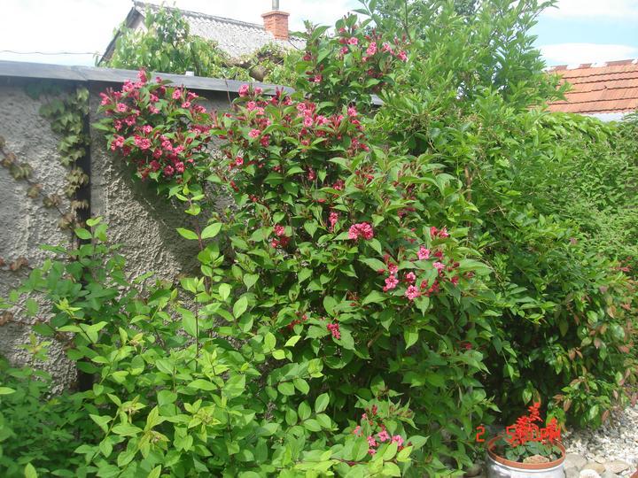 Na dvore a v záhrade - a už kvitne weigela....