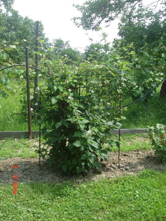 Na dvore a v záhrade - černička krásne kvitne, vlani na nej bolo neúrekom:))