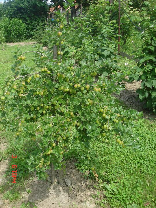 Na dvore a v záhrade - egreše sú riadne obsypané.....