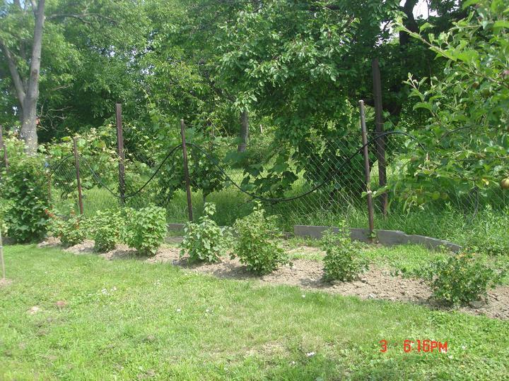 Na dvore a v záhrade - ríbezle červené, biele aj čierne.....
