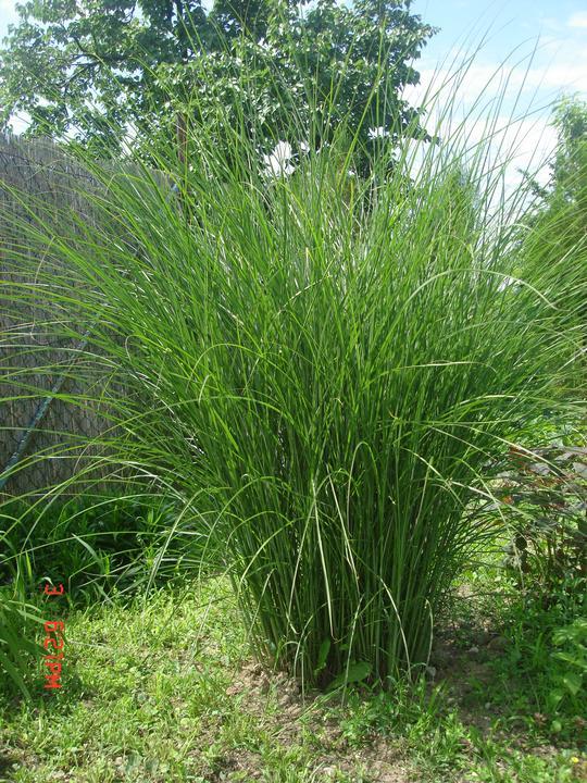 Na dvore a v záhrade - miscanthus gracillimus