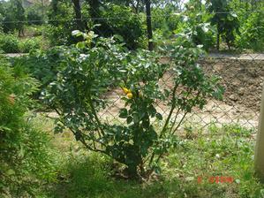 nová ružička, dufam že sa krásne rozrastie a zakryje plot od suśedov.....