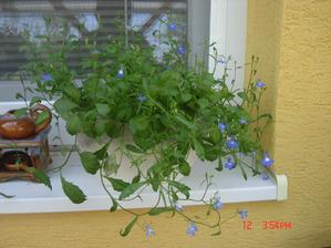 lobelka vypestovaná zo semienok:))konečne kvitne