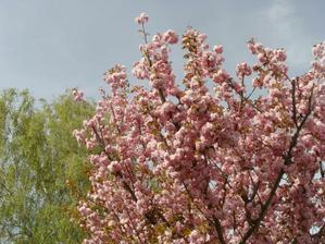 Sakury nam kvetou pred barakem i letos :)