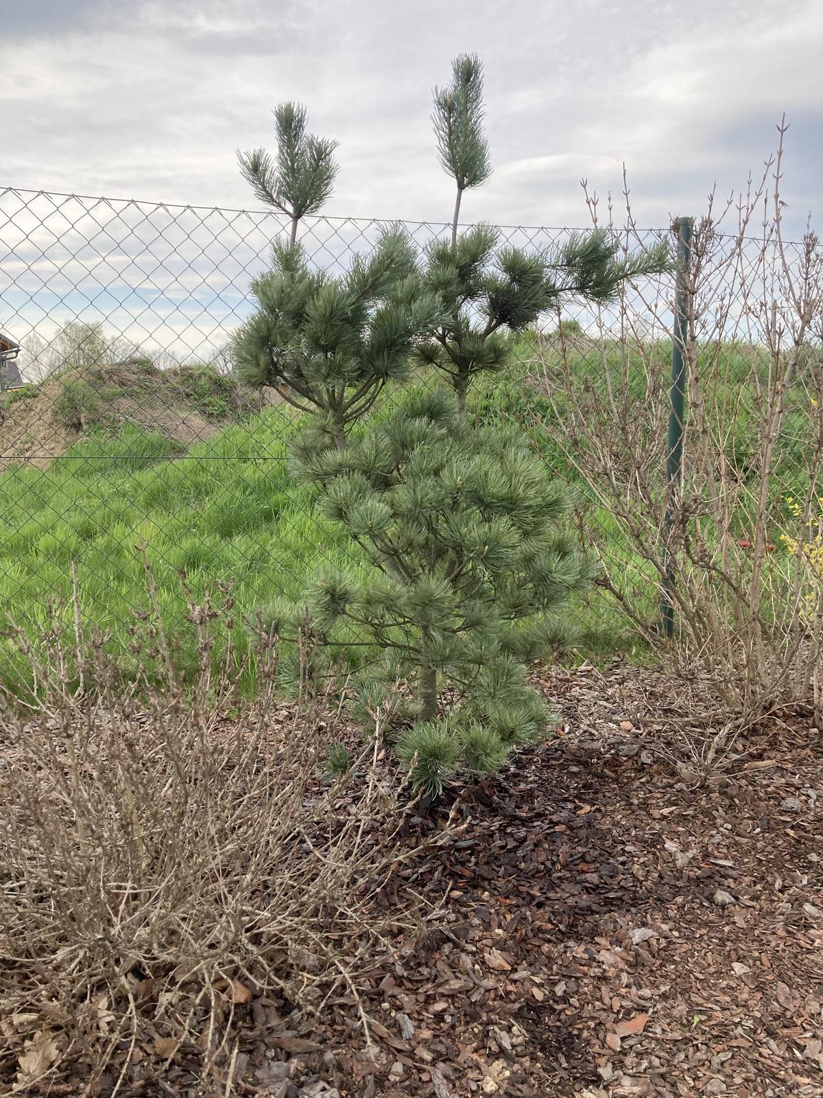 Šestý rok zahradničím - Pinus parviflora Tempelhof