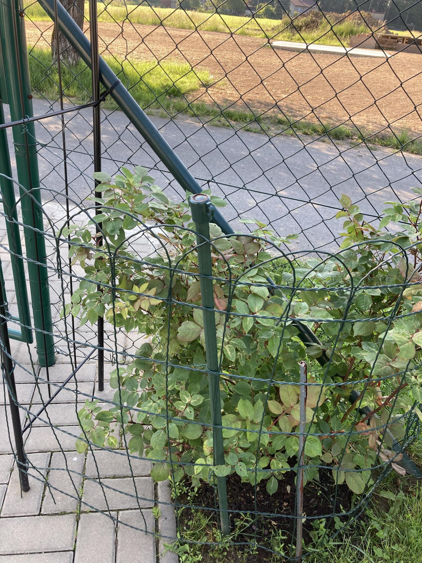 Šestý rok zahradničím - růže nevymrzly a krásně se rozrůstají