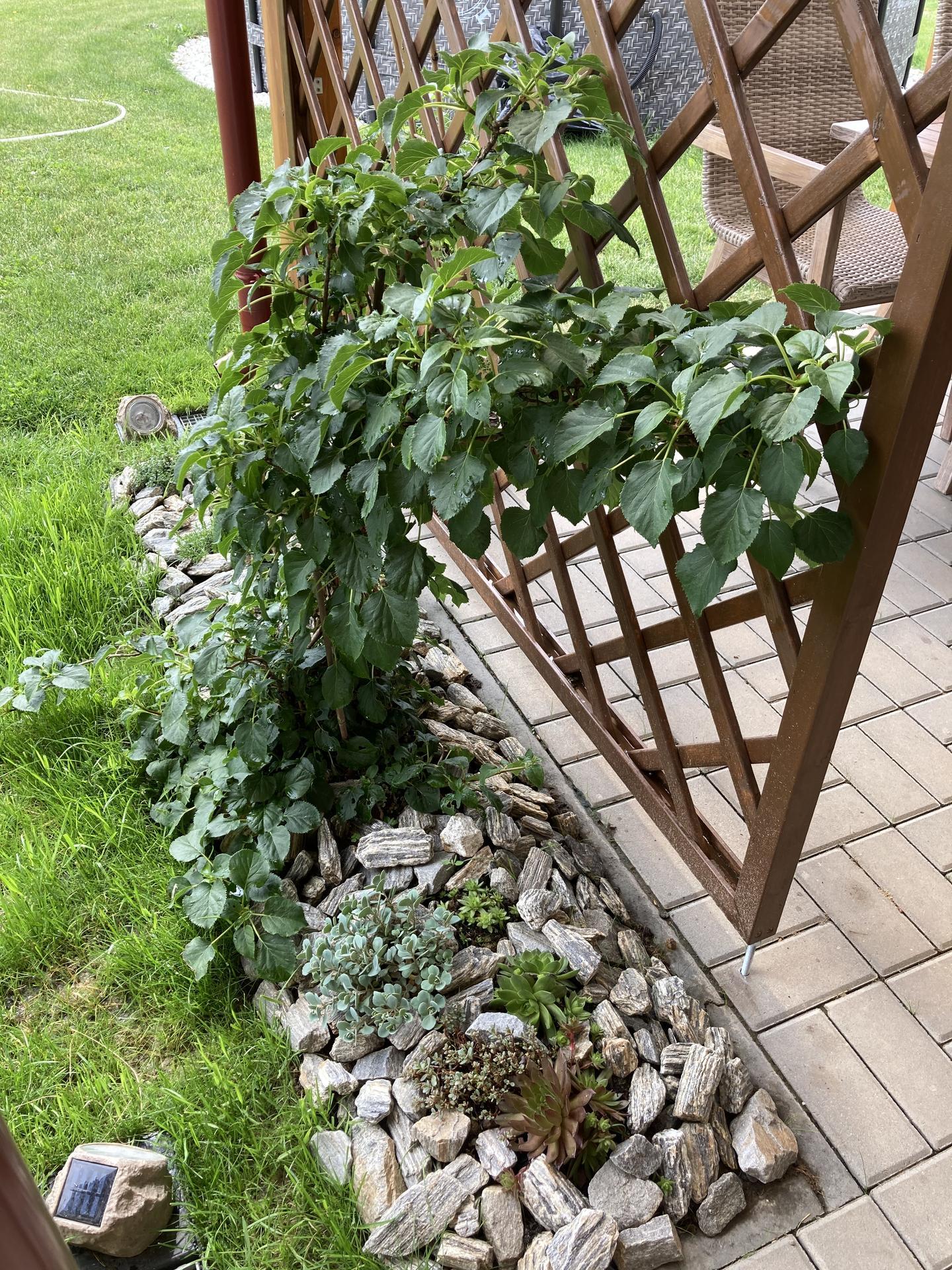Šestý rok zahradničím - na hortenzii popínavou jsem zvědavá, nevím jestli už letos pokvete