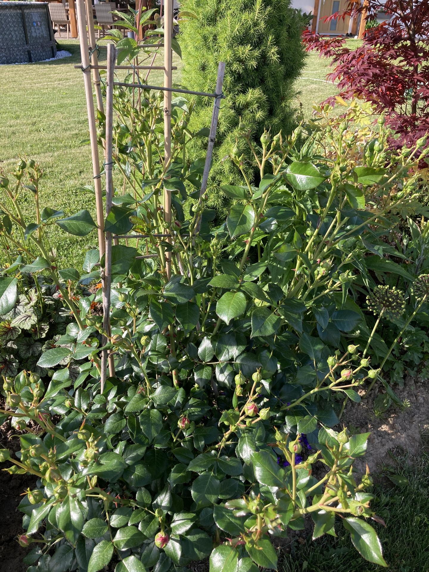 Šestý rok zahradničím - loni měla skoro dva metry, na jaře totálně vymrzla, a nestačím zírat, jak rychle dohání loňskou výšku a těch poupat co má
