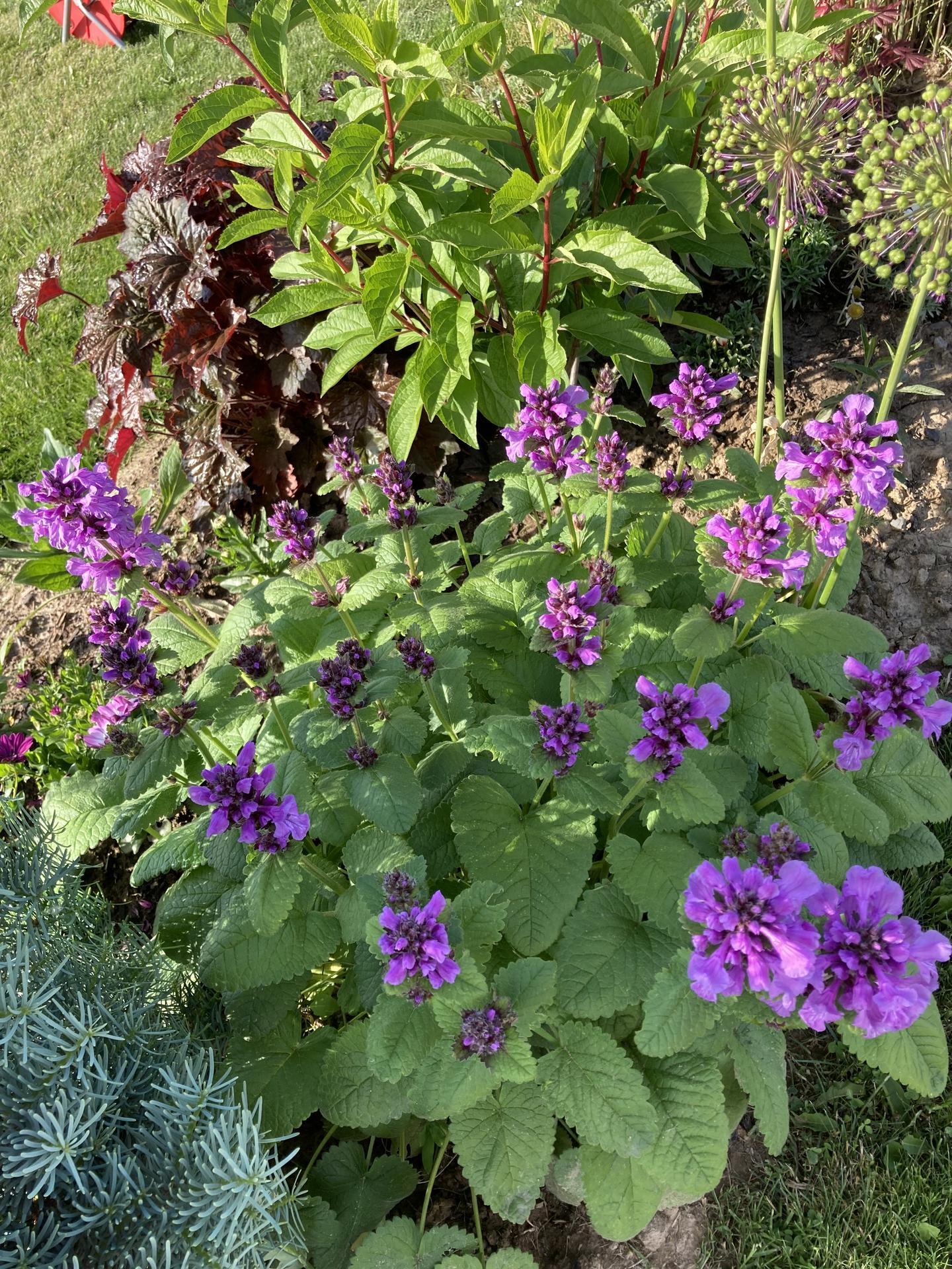 Šestý rok zahradničím - Hančin čistec se krásně rozkvetl :)