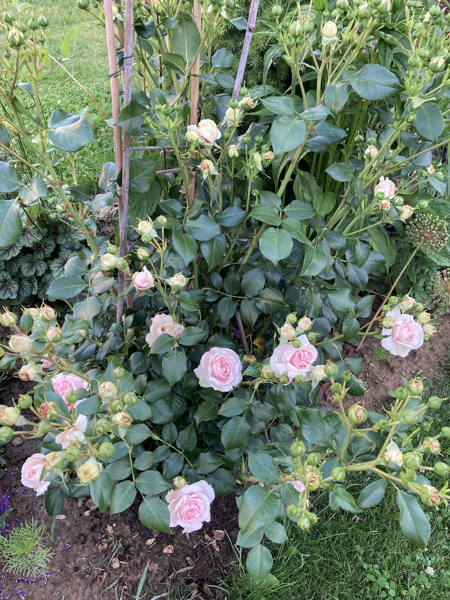 Šestý rok zahradničím - Obrázek č. 67