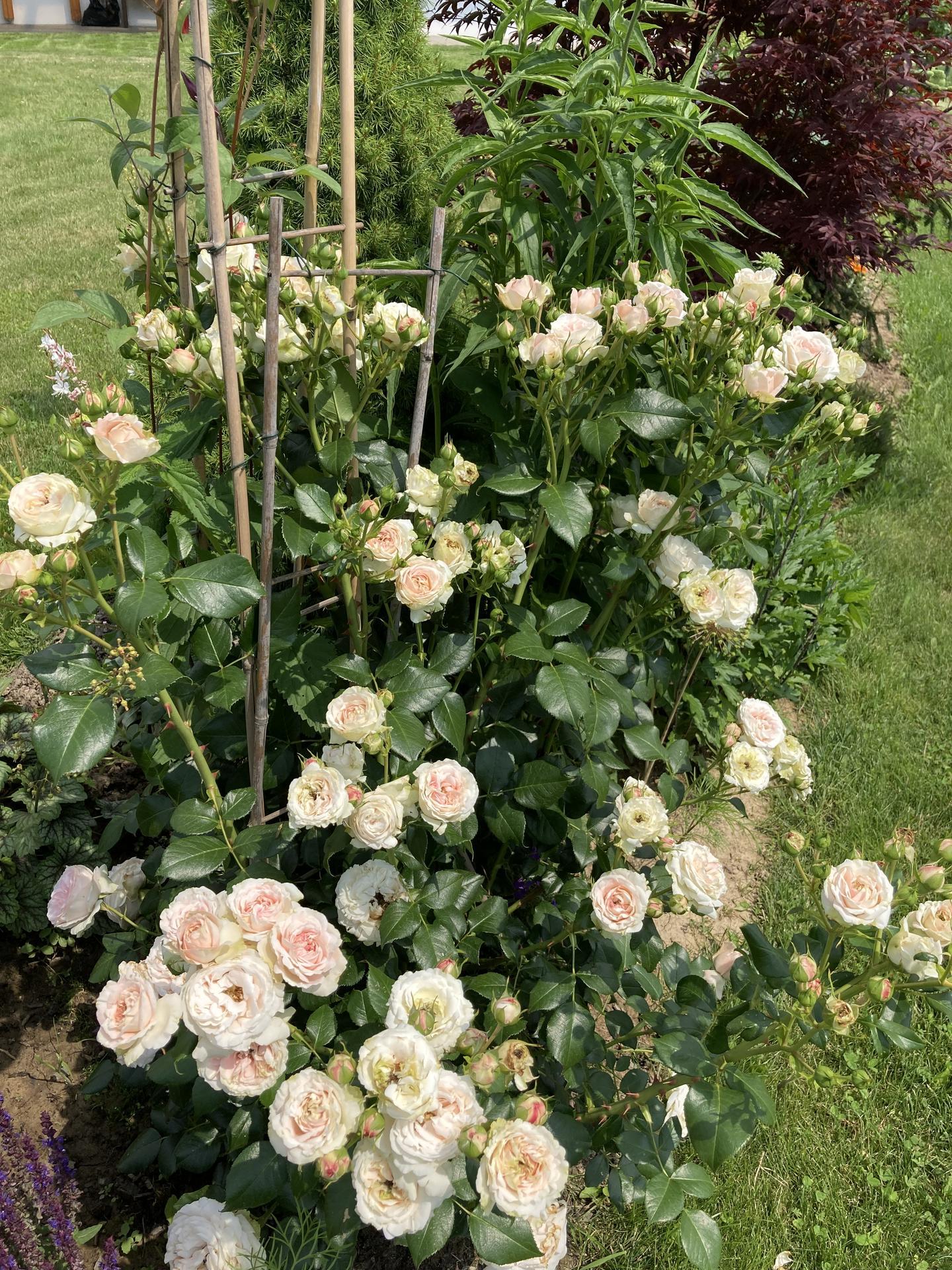 Šestý rok zahradničím - totálně vymrzlá růže mně mile překvapila, tolik poupat ještě neměla