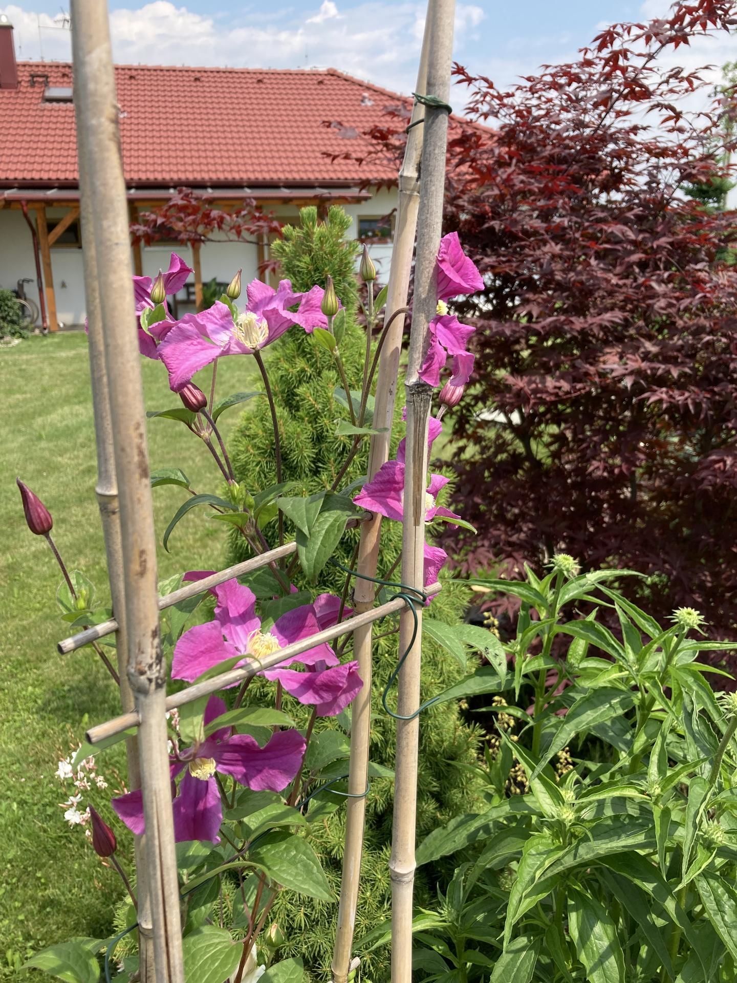 Šestý rok zahradničím - vloni koupený klematis letos konečně kvete