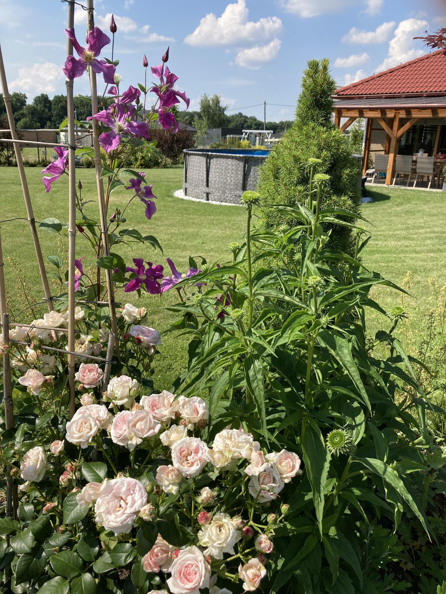 Šestý rok zahradničím - těším se na květy echinacey, letos vyrostla hodně do výšky