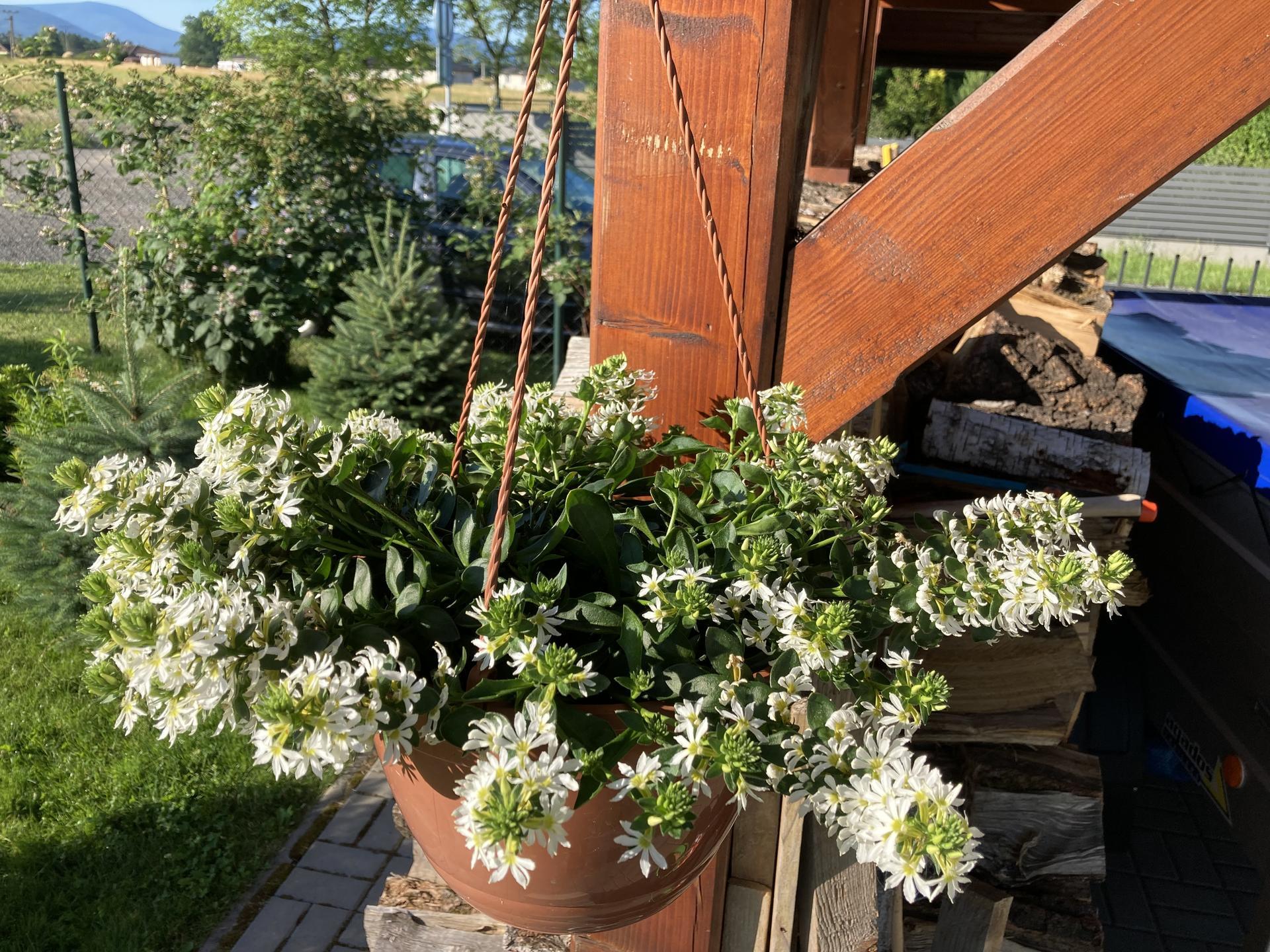 Šestý rok zahradničím - vějířovka bílá, dosud jsem ji neznala